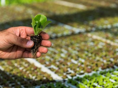 greenplantsmimikou-marouli